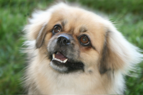 All Small Dogs wallpaper titled Tibetan Spaniel