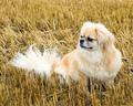 Tibetan 獚, 西班牙猎狗, 猎犬