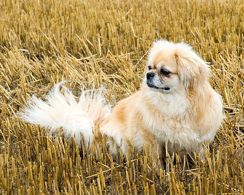 All Small Aso wolpeyper called Tibetan asong spaniel