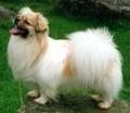 Tibetan Spaniel - all-small-dogs photo