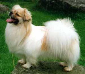 Tibetan spaniel, perro de aguas