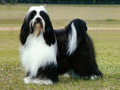 Tibetan Terrier - all-small-dogs photo