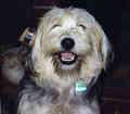 Tibetan giống chồn, chó sục, chó săn terrier