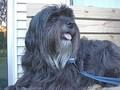 Tibetan 梗, 梗犬, 小猎犬