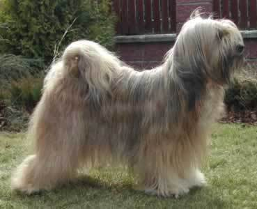 All Small Dogs wallpaper entitled Tibetan Terrier