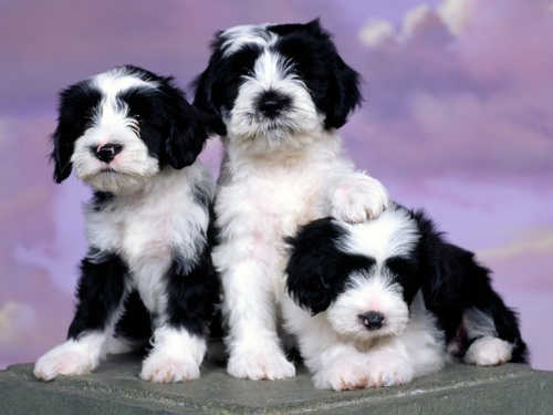 All Small Dogs wallpaper called Tibetan Terrier