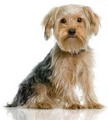 Yorkshire Terrier - all-small-dogs photo