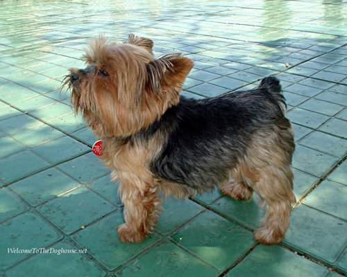 Yorkshire Terrier - all-small-dogs Wallpaper