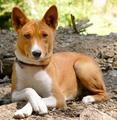 Basenji - all-small-dogs photo