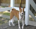 Basenji - all-small-dogs wallpaper