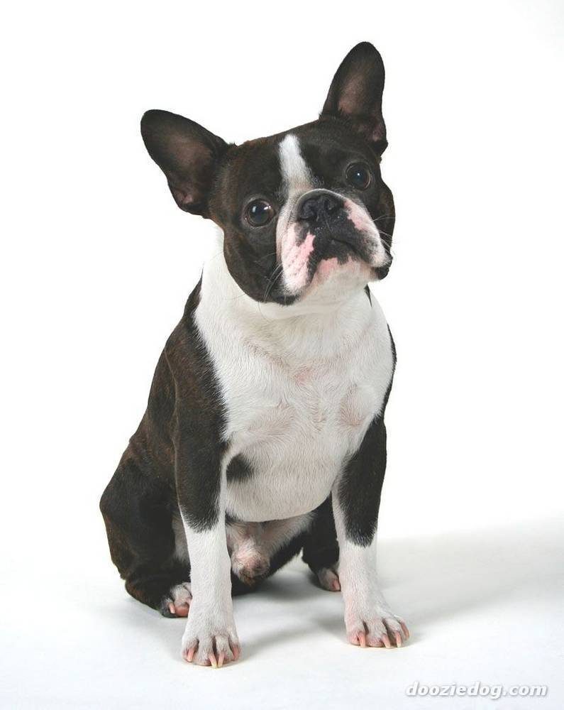 boston terriers images bostons