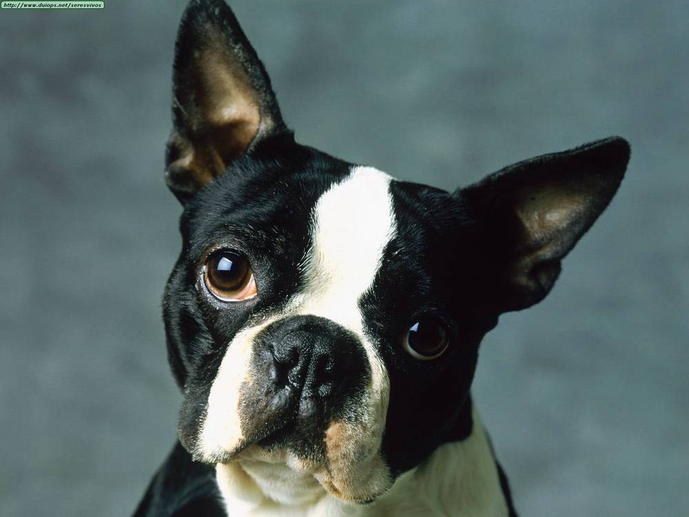 Boston Terriers Images Bostons 3 HD Wallpaper And Background Photos