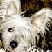 Chinese Crested - all-small-dogs icon