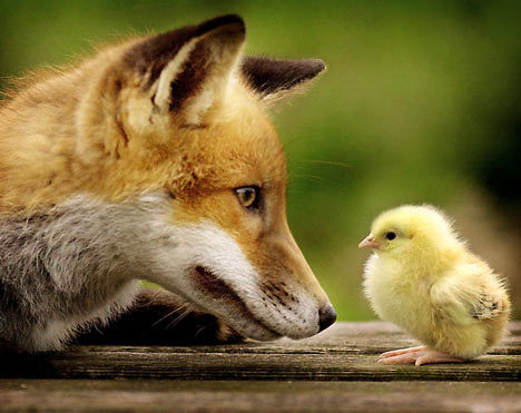 Cute fox and Chick