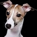Italian Greyhound - all-small-dogs icon