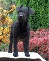 Lakeland Terrier - all-small-dogs photo