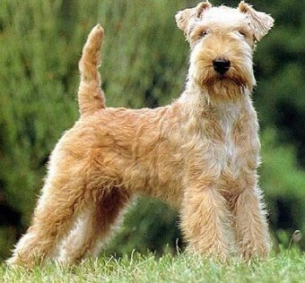 All Small Dogs wallpaper entitled Lakeland Terrier