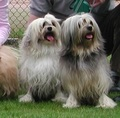 Lowchen - all-small-dogs photo