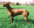 Mexican Hairless  - all-small-dogs photo