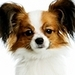 Papillon - all-small-dogs icon