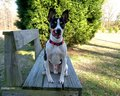 Rat Terrier - all-small-dogs wallpaper