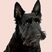 Scottish Terrier - all-small-dogs icon