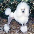 Toy Poodle - all-small-dogs photo