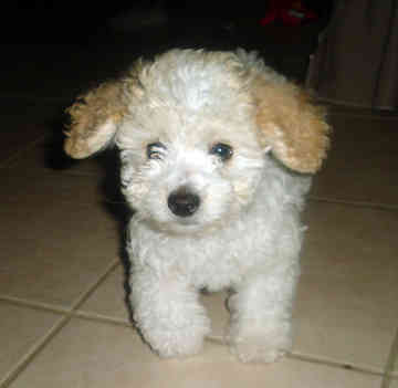 All Small Dogs wallpaper entitled Toy Poodle
