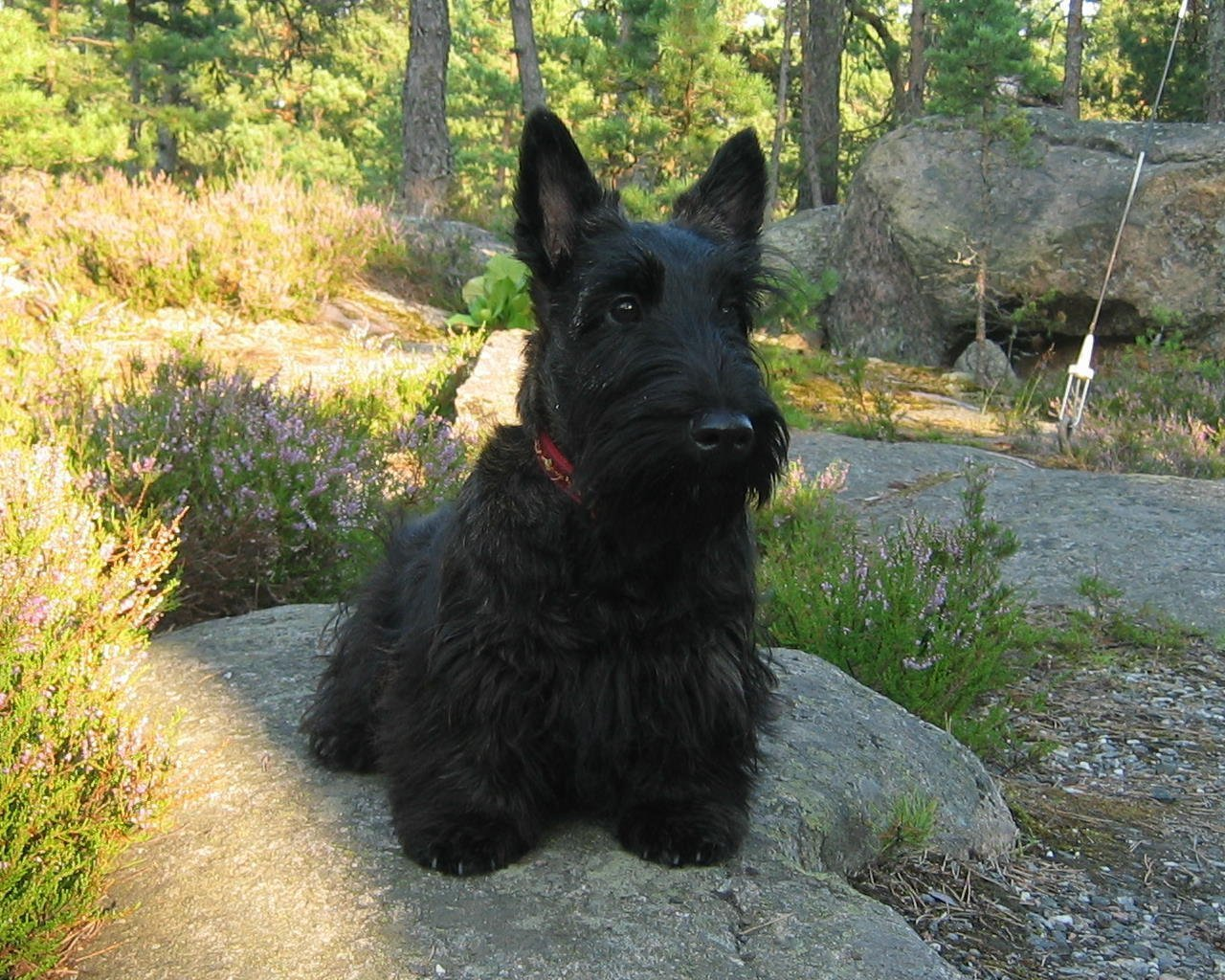 Scottish Terrier All Small Dogs Wallpaper