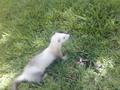 Bebwop - ferrets photo