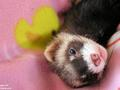 Ferret - ferrets photo