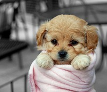 All Small Dogs wallpaper entitled Little Sweetheart <3
