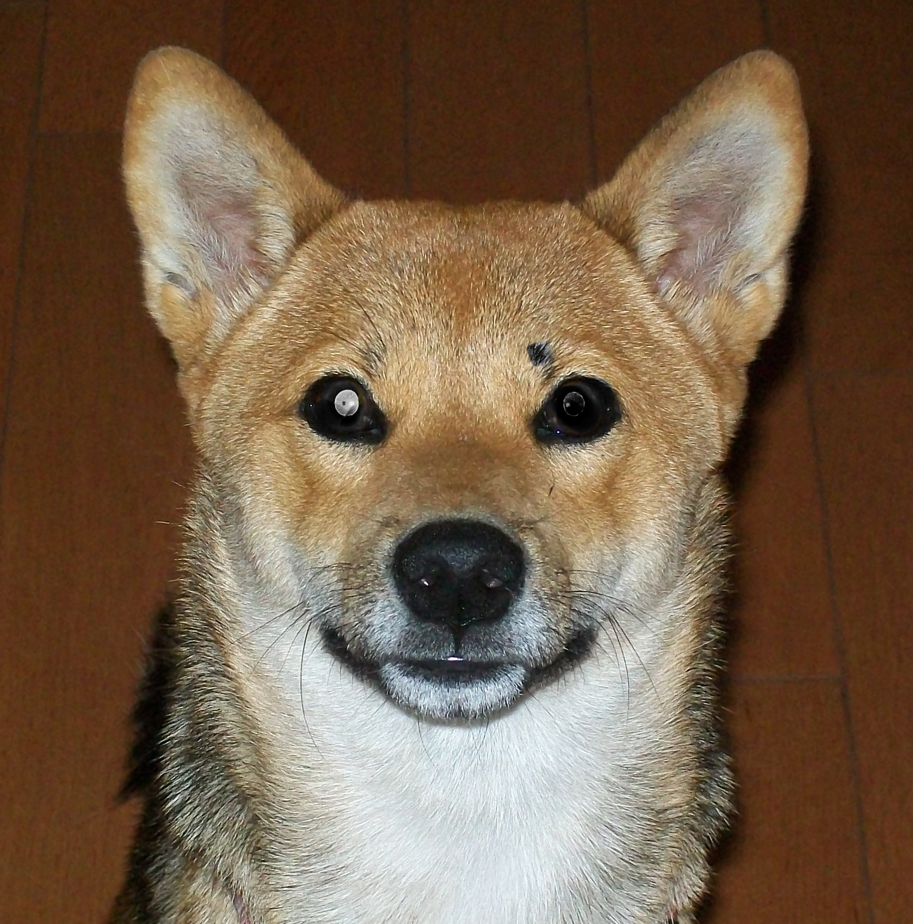 Shiba Inu MY DOG LAYA