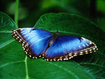 Earth pasangan wallpaper called Blue Morpho