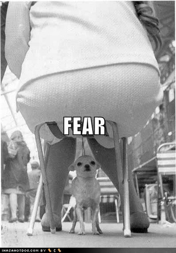 A chihuahua's worst fear