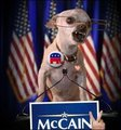 Angry McCain chihuahua - funny-chihuahuas photo