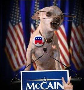 Angry McCain chihuahua