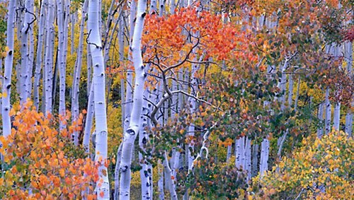 Aspens in their full glory