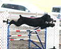 Brezzy the Giant Schnauzer Agility Photo - dog-agility photo