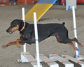 Doberman Agility - dog-agility photo