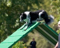 Don St.Croix and Razzle work the a-frame - dog-agility photo