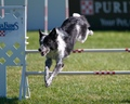Razzle the Border Collie at the PIDC - dog-agility photo