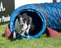 Razzle charges out of the tunnel - dog-agility photo