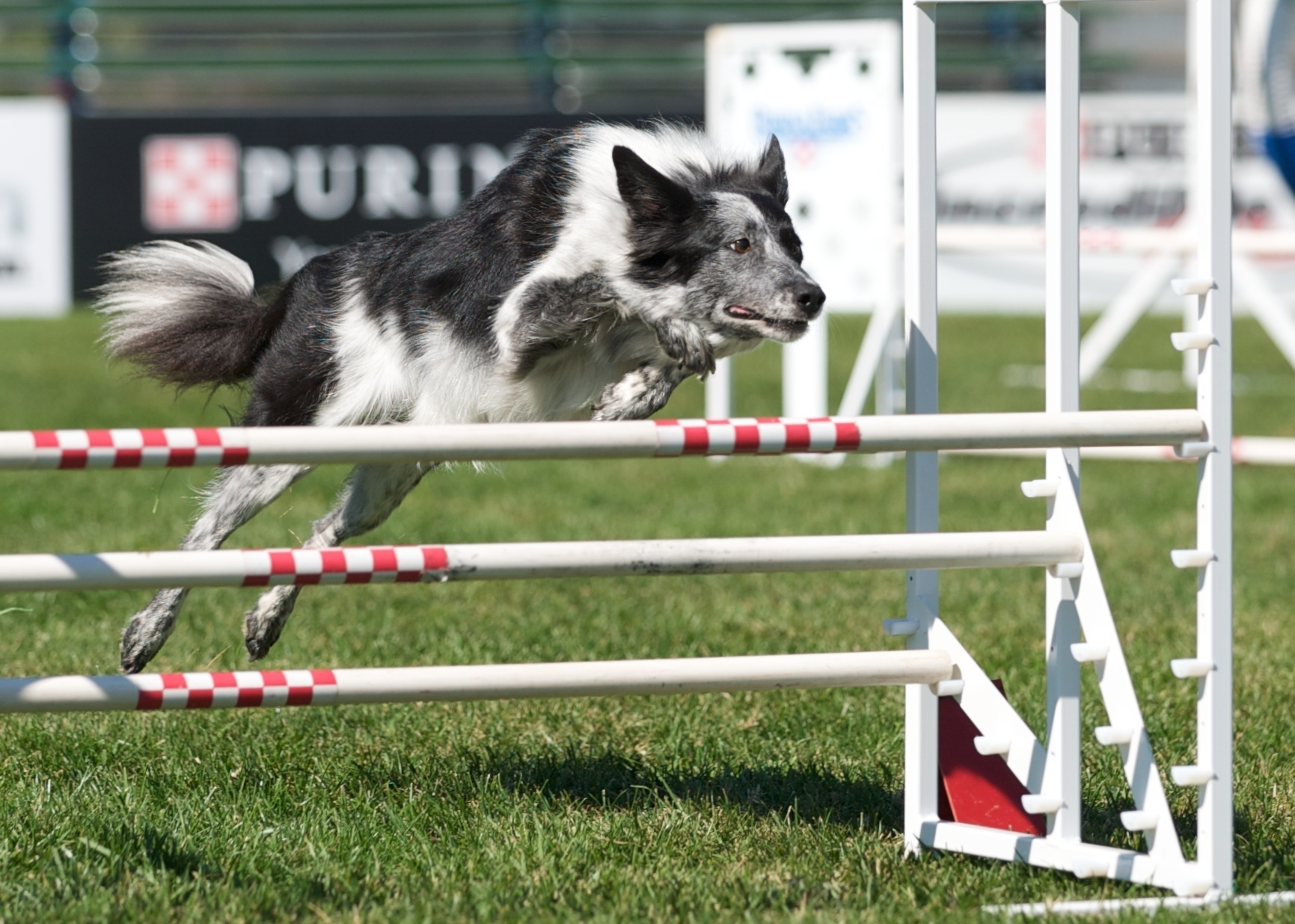 Dog Agility images Don St.Croix and Razzle Win The Purina