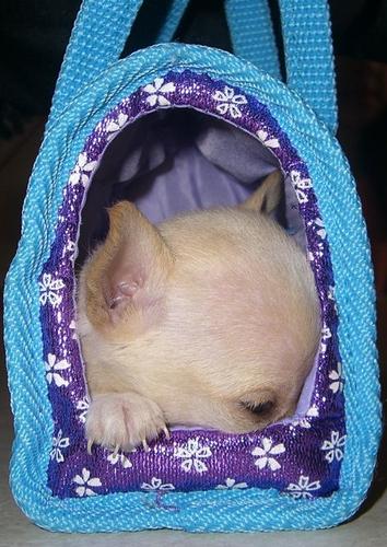 Holly in a handbag