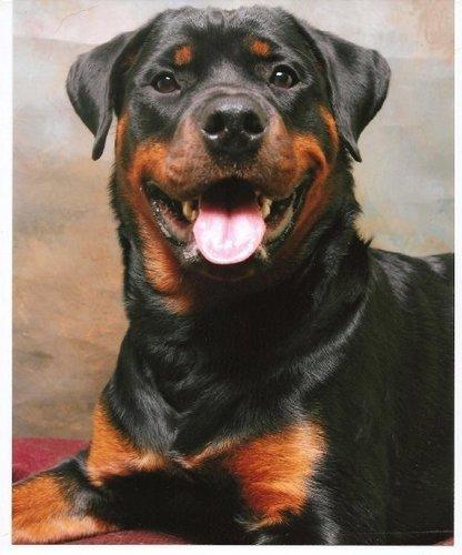 Rottweiler Wallpaper: Rottweiler Images MJ Wallpaper And Background Photos (8697528