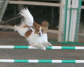 Nitro the agility Papillon - dog-agility photo