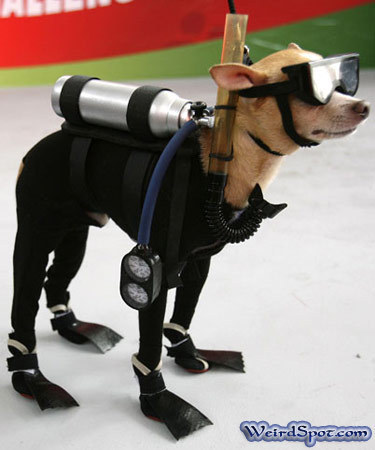 Scuba diving chihuahua!