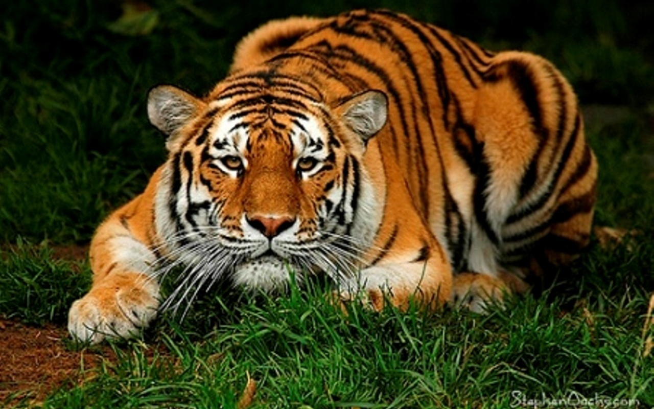 saving the tigers With more than half of the world's roughly 4000 tigers roaming its  how india's  conservationists are fighting to save half of the world's tigers.