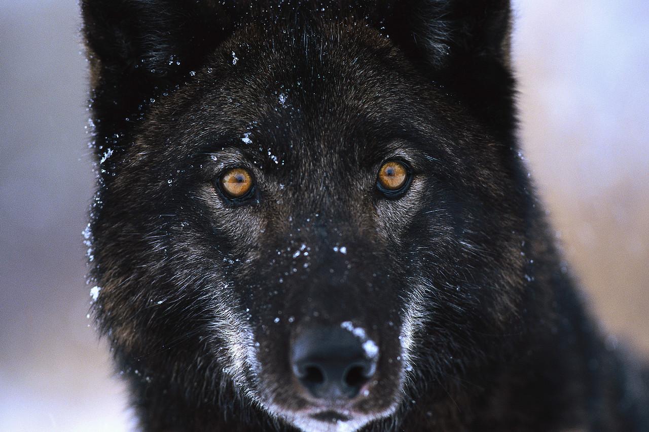 Black волк
